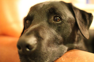 Pints for Pups helps fund Guide Dogs for the Blind.