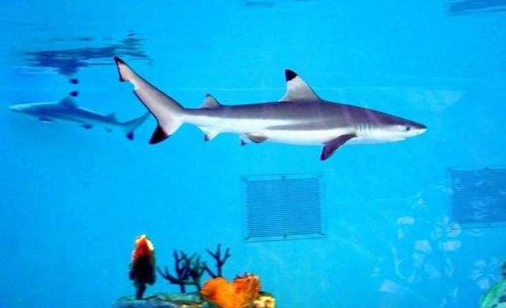 Birch Aquarium Black Tip Reef Shark