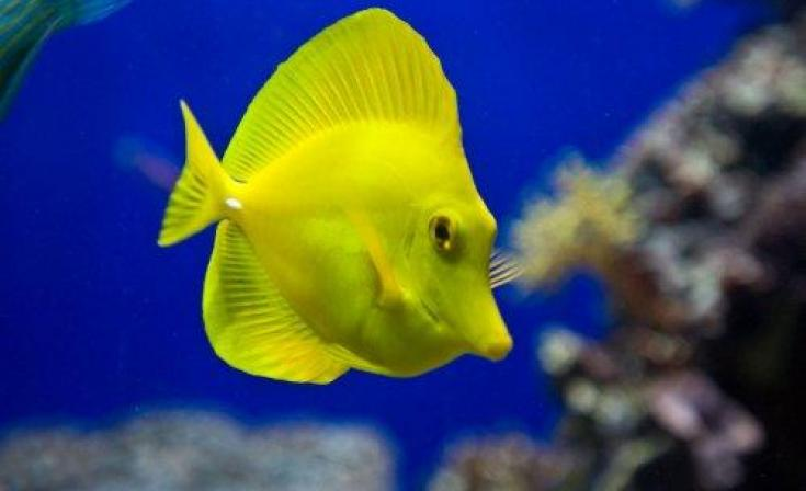 Birch Aquarium Yellow Tang